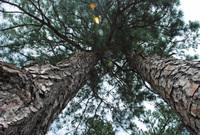Pines_2